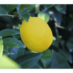 Tatlı Limon (1kg)